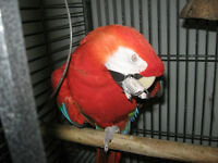 FRIENDLY TALKING GREEN WINGED MACAW