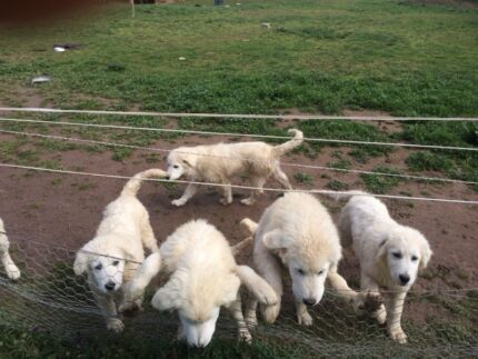Maremma puppies for sale sound healthy well bred South Bathurst Bathurst City Preview