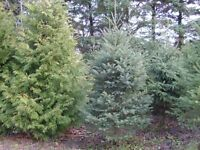 Spruce Trees for sale