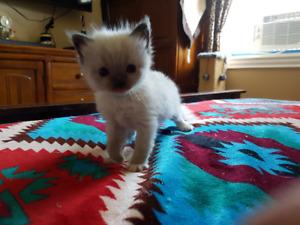 Registered Ragdoll kittens Available
