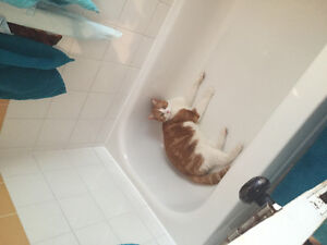 Wanted: Orange and White male tabby kitten