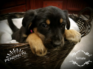 Puppies - Greater Mountain Swiss mix