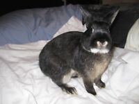 We Have A Beautiful Malle (boy) Bunny Rabbit For Sale