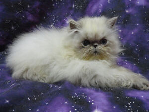 PERSIAN  & HIMALAYAN KITTENS