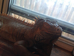 4 foot female iguana with 6 foot tank