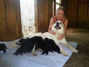 Reserve a Divine Doodle  for Oct adoption : ) (3whites avail now
