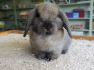 BABY HOLLAND LOP RABBITS AVAILABLE NOW