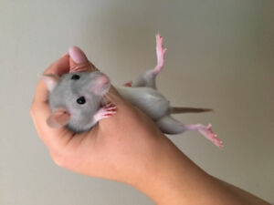 Cute Baby Blue Rat and all Supplies