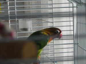 couple d' inséparable avec cage