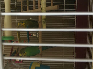Two budgies and Bird Cage