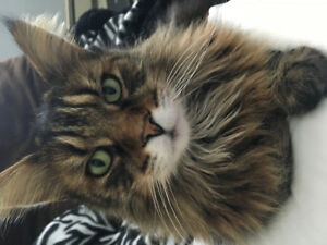 Lost Maine Coon