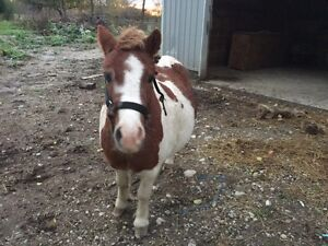 Sydney - painted pony 5 years old