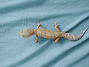 Gecko leopard albino tangerine male