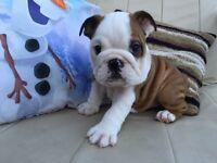 READY TO GO NOW full pedigree english bulldog pup