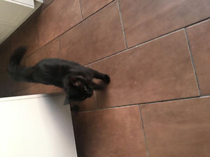 FOUND BLACK CAT IN GATINEAU AREA - NOIR CHAT