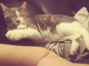 Theo - Lost Male Cat - Grey Tabby with White Shorthair
