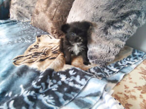 Only 3 Left Teacup Pomeranian mix Yorkshire puppies