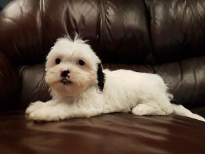 1 Friendly Female Left!!! Shichons (shih tzu x bichon frise