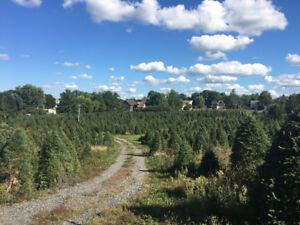 Cut Your Own Christmas Tree-Whitby $25 and up