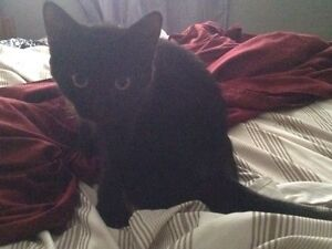 Black short haired female kitten (5 months)