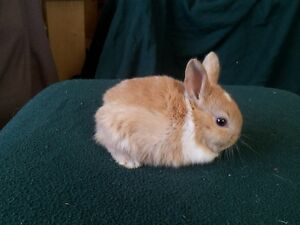 Dutch Cross Baby rabbits ready for sale