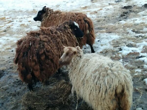 registered Shetland sheep