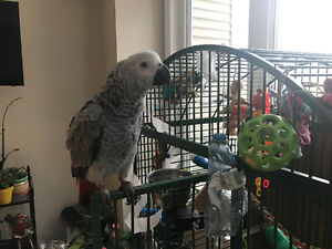 Three month old African Grey