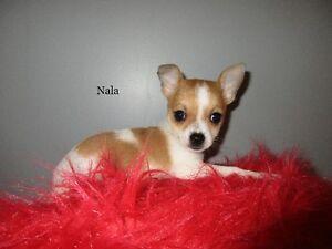 Magnifiques Chiots Chihuahua pur race, prêts à partir!