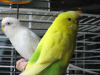 3 adorable budgies for sale to caring owners