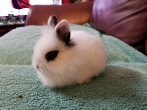 White lionhead bunny for sale
