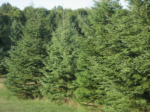 Beautiful Live Trees!! Fully Mature to young Saplings.