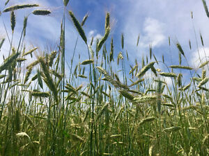 Oats and Rye for sale - No pesticides or herbicides