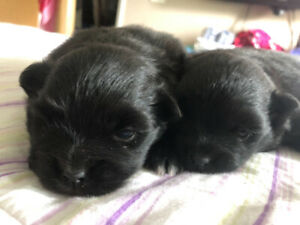 2 female rare black Pomeranian pups