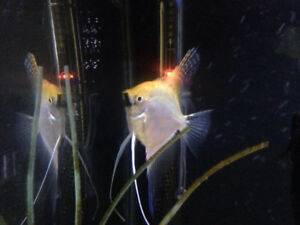 trade full grown male angelfish