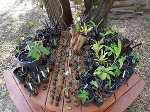 Huge range of plants from $2! Tillandsia's, Coffee Trees, Natives Narangba Caboolture Area Preview