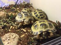 Horsfield tortoise - with all toy will need- inc home and care sheet