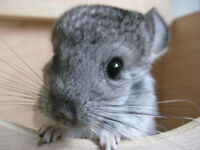 BABY MALE CHINCHILLAS AND PET RATS