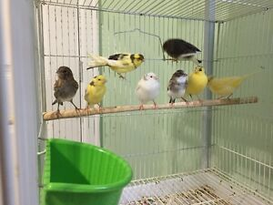 Canary Pairs and Singles