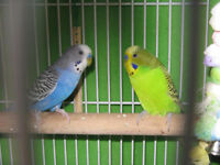 2 budgies plus cage and accessories