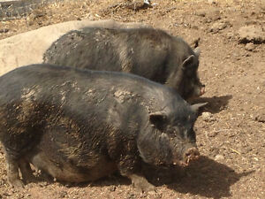 Potbelly cross pigs for Sale - Females, Pregnant ones available.
