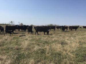 Black Angus Cross Cow Calf Pairs