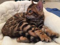 Pedigree Bengal kittens - brown rosetted