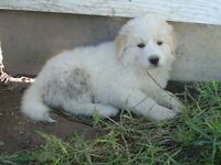 Gorgeous Great Pyreneese Cross Puppies