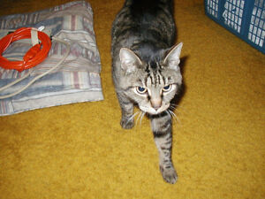 LOST CAT - Old Grey/Black/Tan Striped Tabby