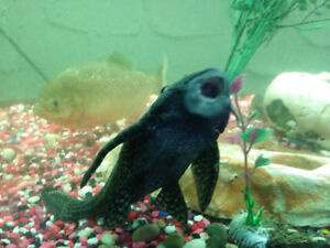 65 gl Fish Tank with 3 Big Piranhas and Pleco
