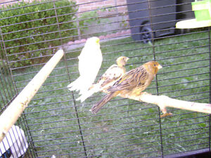 3 Canaries looking for bird loving home