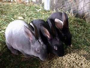 Easter born bunnies and Easter eggers available.