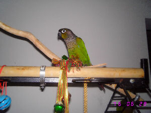 Beautiful Green Cheeked Conure Parrots Windsor Region Ontario image 5