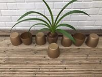 Plant with 7spare golden pots