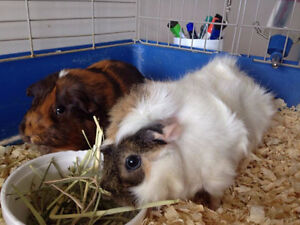 2 Adorable Female Guinea Pigs (+ cage)